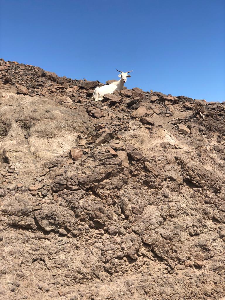 Was viele nicht wissen: Fuerteventura ist die Heimat zahlreicher Ziegen